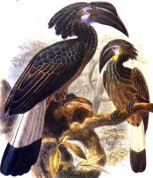 موسوعة شاملة عن طائر البوقير و أنواعه الجزء 1 Calao.largup.dage.0p