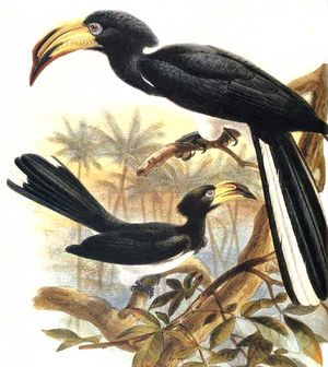 موسوعة شاملة عن طائر البوقير و أنواعه الجزء 1 Calao.longibande.dage.0p