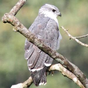 un oiseau - blucat - 19 août trouvé par ajonc Buse.a.dos.gris.dibu.1p