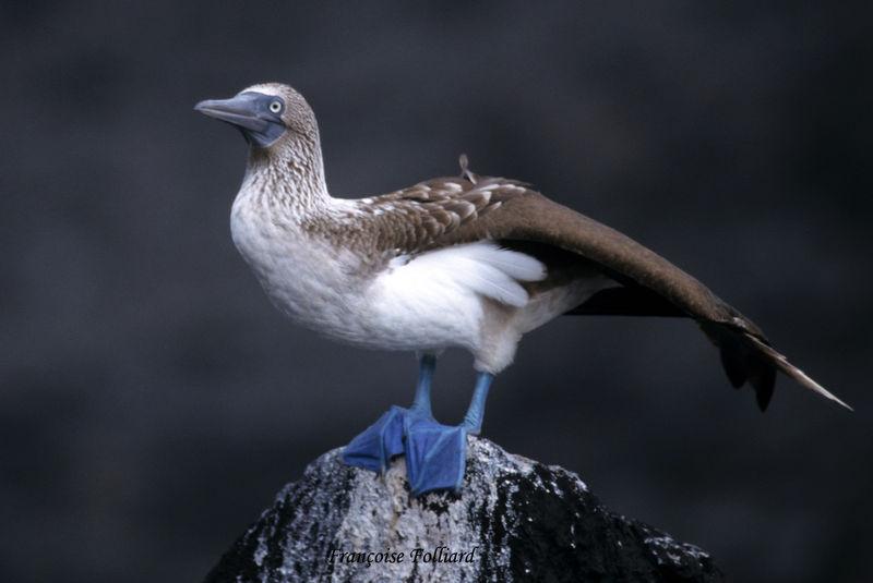 oiseau -Ajonc - 7 octobre trouvé par Martine - Page 3 Fou.a.pieds.bleus.frfo.2g