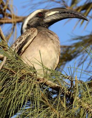 موسوعة شاملة عن طيور البوقير Calao.a.bec.noir.frle.1p
