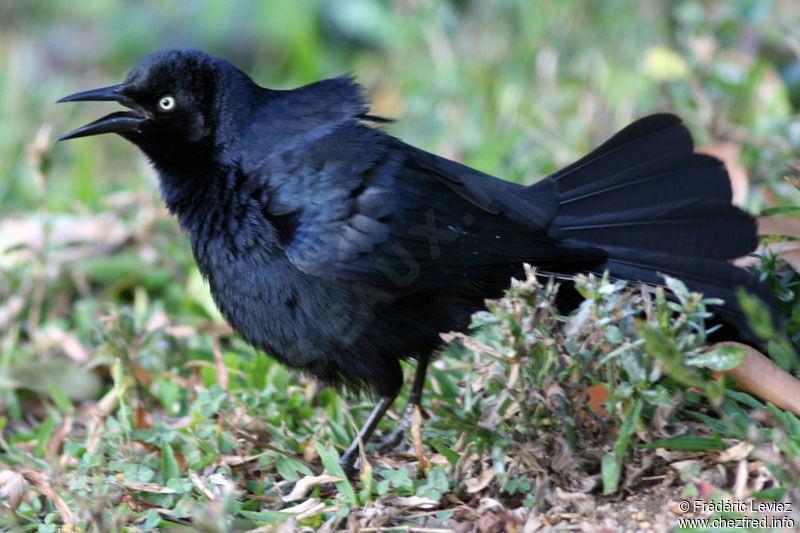 l'animal de Martin du 5 janvier trouvé par Martine Quiscale.noir.frle.1g