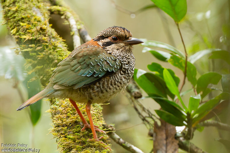 un oiseau - blucat - 19 août trouvé par ajonc Brachypterolle.ecaille.frpe.1g