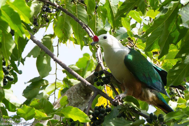 oiseau Martin 6 avril trouvé par Martine - Page 2 Carpophage.a.cire.rouge.frpe.1g
