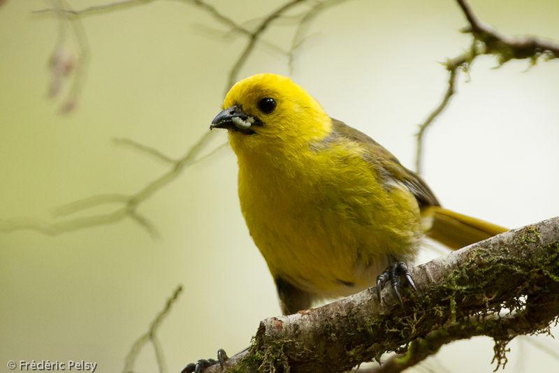 un ptit oiseau - ajonc - 30 mars trouvé par Martin Mohoua.a.tete.jaune.frpe.1g