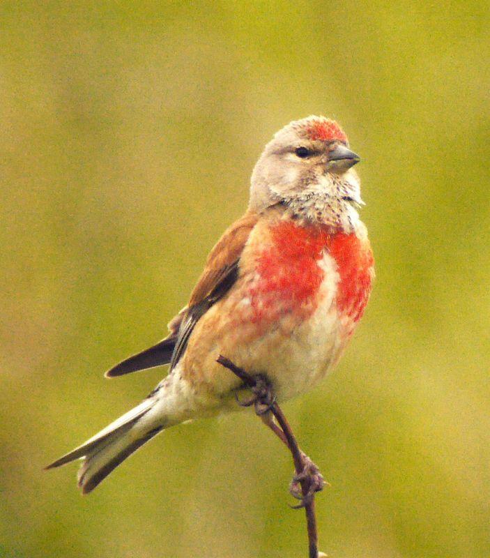 un oiseau - ajonc- 15 octobre trouvé par Martine Linotte.melodieuse.gibl.3g