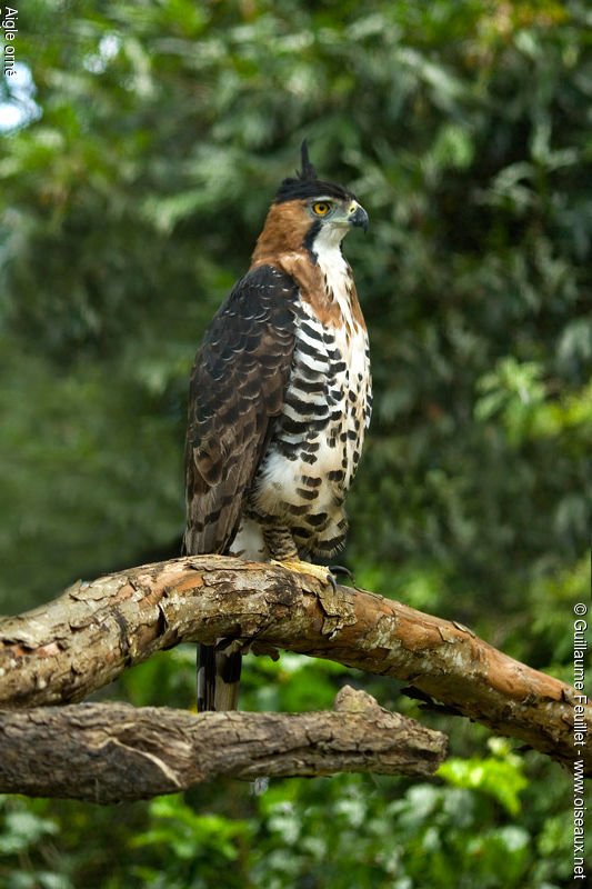 Falconiformes. Família  Acciptridae - Subfamília Buteonidade- Gaviões de penacho. genêro SPIZAETUS Aigle.orne.fegu.3g