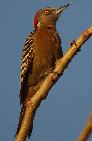 un oiseau à découvrir Martin du 08 novembre trouvé par Martine Pic.d.hispaniola.jefe.2p