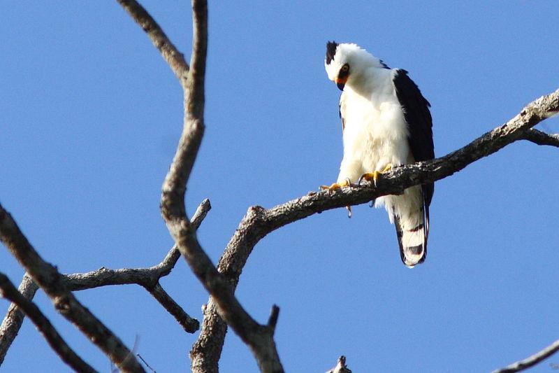 Falconiformes. Família  Acciptridae - Subfamília Buteonidade- Gaviões de penacho. genêro SPIZAETUS Aigle.noir.et.blanc.jota.3g