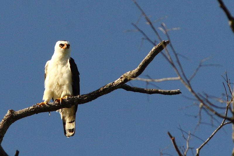 Falconiformes. Família  Acciptridae - Subfamília Buteonidade- Gaviões de penacho. genêro SPIZAETUS Aigle.noir.et.blanc.jota.4g