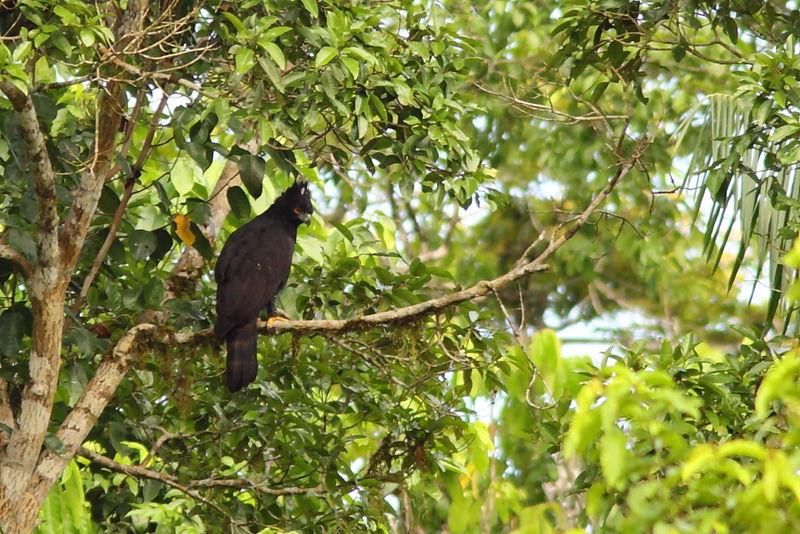 Falconiformes. Família  Acciptridae - Subfamília Buteonidade- Gaviões de penacho. genêro SPIZAETUS Aigle.tyran.jota.4g