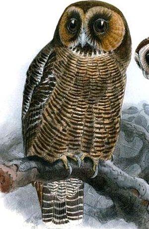 un oiseau - ajonc - 18 décembre Chouette.leptogramme.jgke.0p
