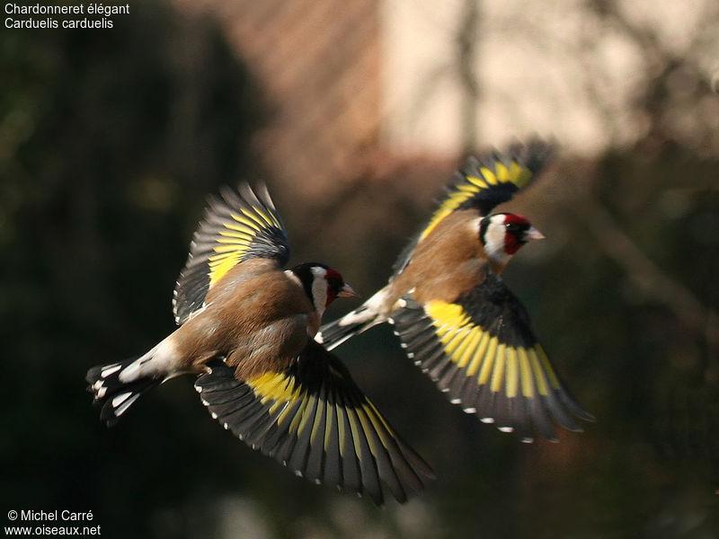 Les oiseaux : la passion de Marylou - Page 27 Chardonneret.elegant.mica.2g