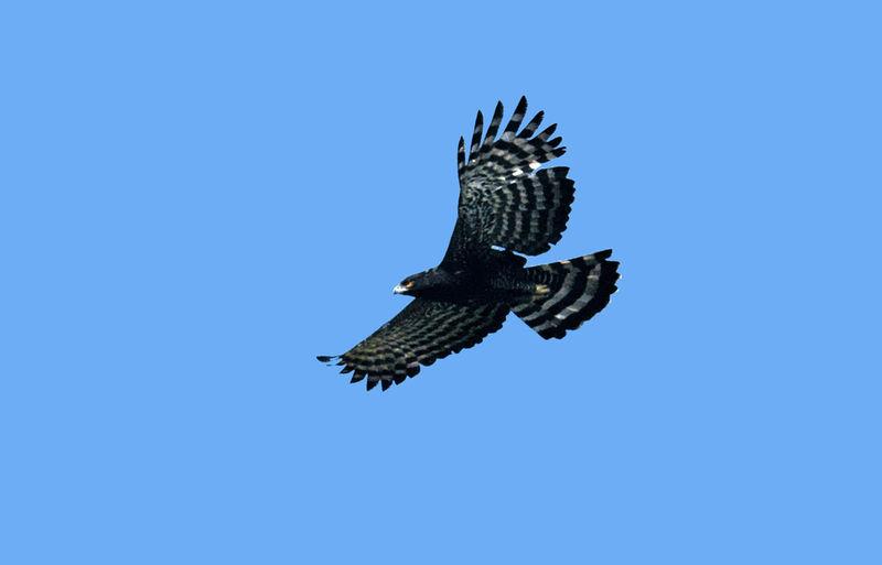 Falconiformes. Família  Acciptridae - Subfamília Buteonidade- Gaviões de penacho. genêro SPIZAETUS Aigle.tyran.miga.1g