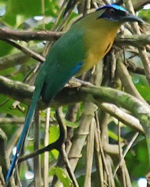 oiseau Martin 6 avril trouvé par Martine Motmot.houtouc.pain.1p