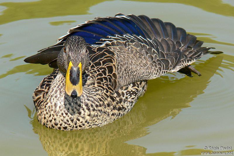 un oiseau à trouver - ajonc - 28 septembre bravo Jovany Canard.a.bec.jaune.repo.2g