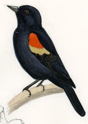 Oiseau - Ajonc - 15 septembre trouvé par Sylvie Carouge.a.epaulettes.seni.0p