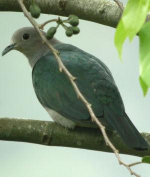 oiseau Martin 6 avril trouvé par Martine - Page 2 Carpophage.pauline.thbe.2p