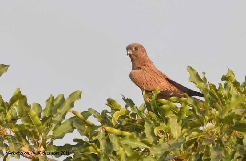 Falconiformes. sub Falconidae - sub fam Falconinae - gênero Falco Crecerelle.renard.thhe.10g