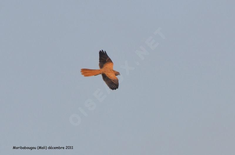 Falconiformes. sub Falconidae - sub fam Falconinae - gênero Falco Crecerelle.renard.thhe.11g