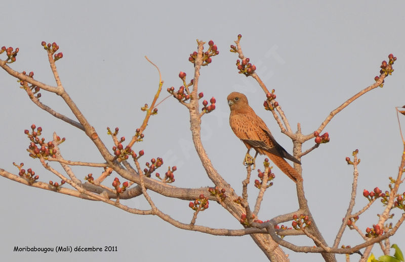 Falconiformes. sub Falconidae - sub fam Falconinae - gênero Falco Crecerelle.renard.thhe.12g