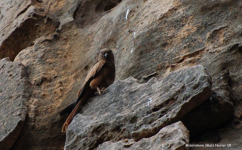 Falconiformes. sub Falconidae - sub fam Falconinae - gênero Falco Crecerelle.renard.thhe.2g