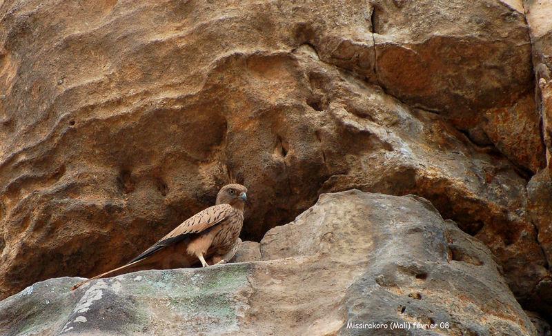 Falconiformes. sub Falconidae - sub fam Falconinae - gênero Falco Crecerelle.renard.thhe.4g