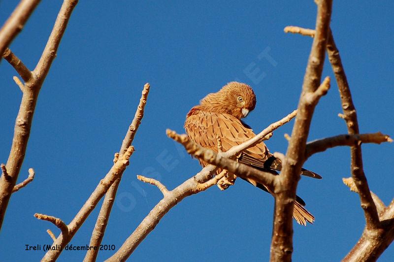 Falconiformes. sub Falconidae - sub fam Falconinae - gênero Falco Crecerelle.renard.thhe.6g