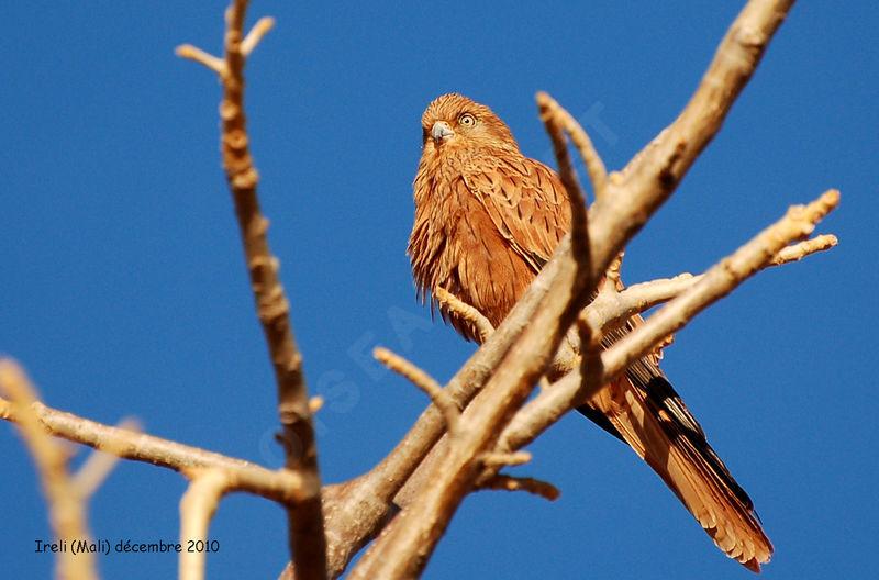 Falconiformes. sub Falconidae - sub fam Falconinae - gênero Falco Crecerelle.renard.thhe.7g