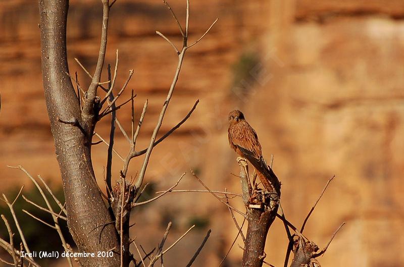 Falconiformes. sub Falconidae - sub fam Falconinae - gênero Falco Crecerelle.renard.thhe.8g