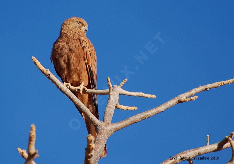 Falconiformes. sub Falconidae - sub fam Falconinae - gênero Falco Crecerelle.renard.thhe.9g