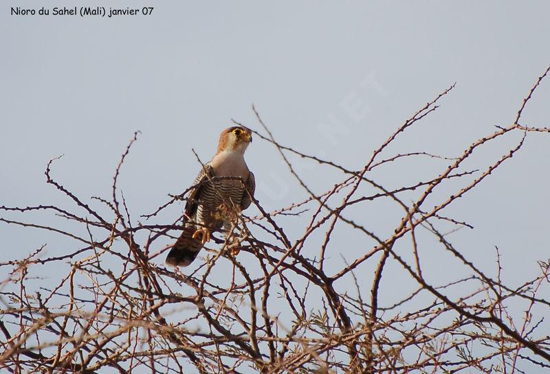 Falconiformes. sub Falconidae - sub fam Falconinae - gênero Falco Faucon.chicquera.thhe.2g