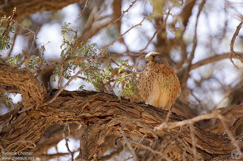 Falconiformes. sub Falconidae - sub fam Falconinae - gênero Falco - Página 2 Crecerelle.des.rochers.yvlh.1g