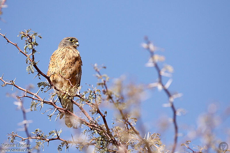 Falconiformes. sub Falconidae - sub fam Falconinae - gênero Falco - Página 2 Crecerelle.des.rochers.yvlh.2g