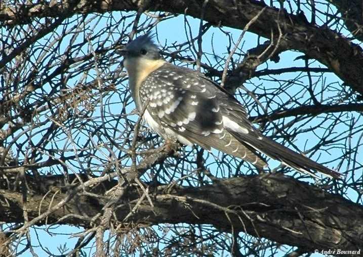 un oiseau - blucat - 19 août trouvé par ajonc -_COUCOU_GEAI_2_