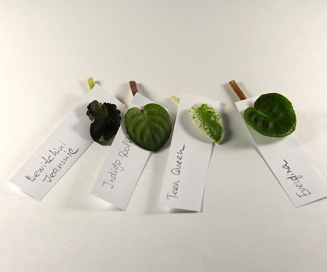Укоренение листочков миниатюрных фиалок - Страница 2 Img_3372_640