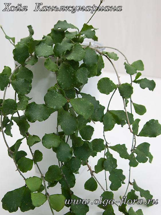 Хойя Каньякумариана (Hoya kanyakumariana) 0ifhx9ciojytj0xkngg3lbtrif5rmgqv