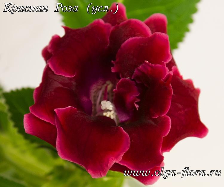 Красная Роза (усл.)  0j2eoj397srk8v90du252oilwgnciins