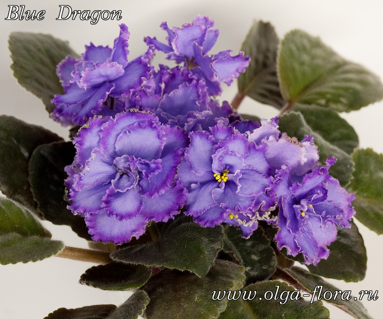 Blue Dragon   (S. Sorano) - Страница 6 0uzsp2mrzfu071r0qpjro0gjlryj74mg