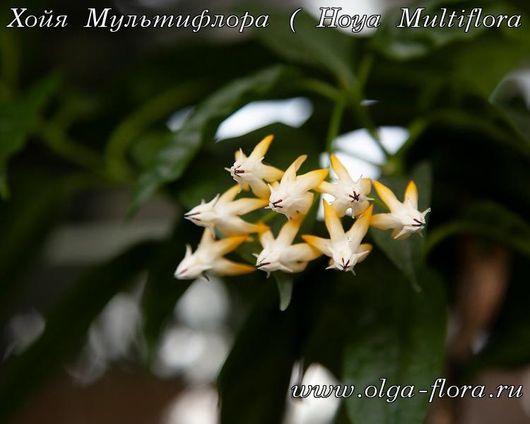 Хойя Мультифлора  - Страница 3 16p6wiflp70yuvdz6d5qklxl77361r11