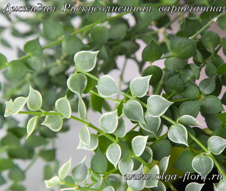 Дисхидия Рускусолистная  (Dischidia ruscifolia) обычная и вариегатная 16pdb75a38z09h3eakwasbxs0y3y9u39