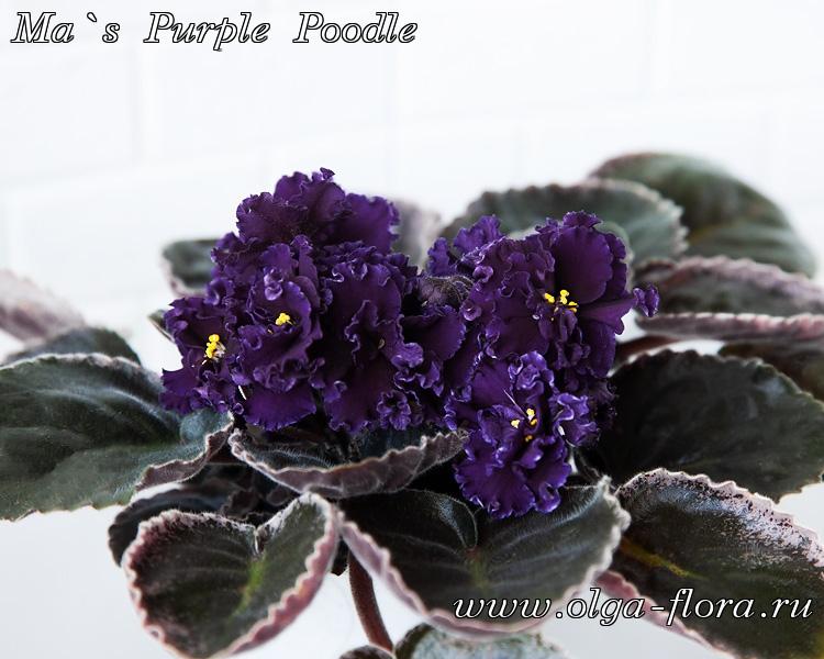 Ma`s Purple Poodle (O. Robinson)  1aa2omwr38nbrgqbj5rx4x5cv1ixihgi