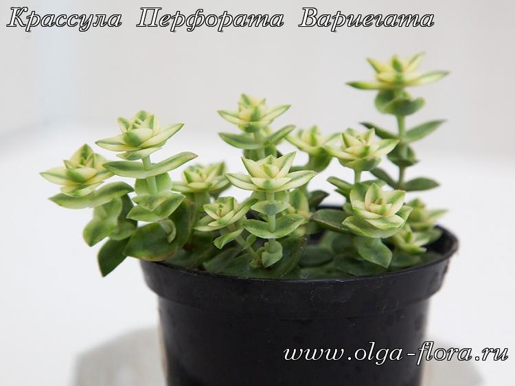 Крассула Перфората Вариегата (Crassula Perforata variegata) 2dmqxvwff1zsdvteksabtpvublpf2013