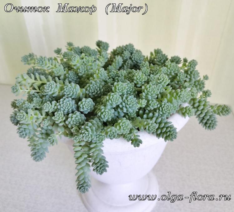 Очиток Мажор (Major) (Sedum Dasyphyllum)  2wktnr7trj0mc5qq90b6i83i0ze8vyux