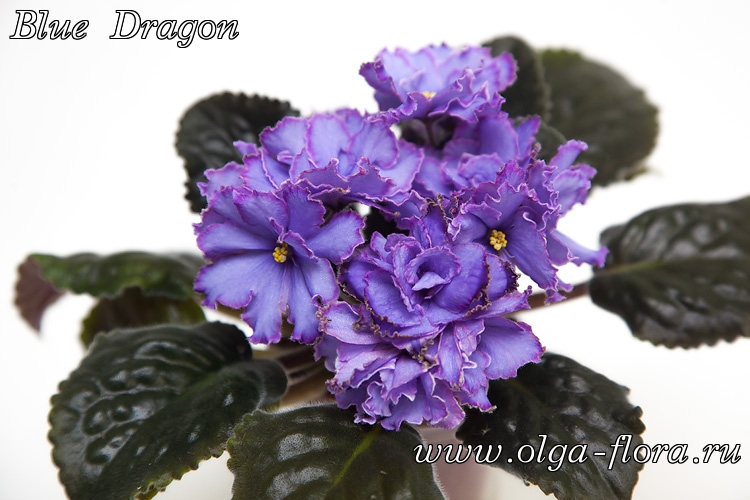 Blue Dragon   (S. Sorano) - Страница 7 4odhp6z3b0l3n5fwtgxwf602pp2vp0hs