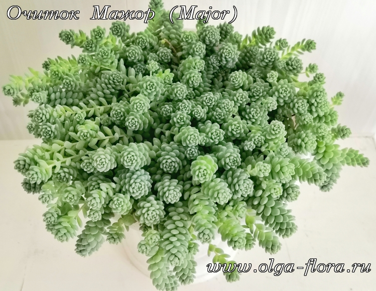 Очиток Мажор (Major) (Sedum Dasyphyllum)  - Страница 2 63z90taep06dnkbdbn408xx4vbruypj5