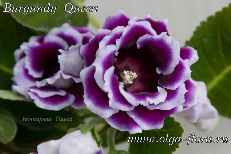Burgundy Queen 6uskmirmjjaqghujgcx85ph5tignpbau