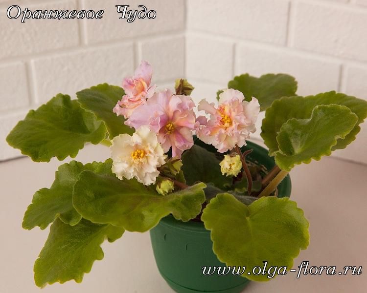 Sunkissed Rose     (LLG/D. Herringshaw) - Страница 7 6zg28gxb4i8lh5ufbozq64zc3t2d10l7