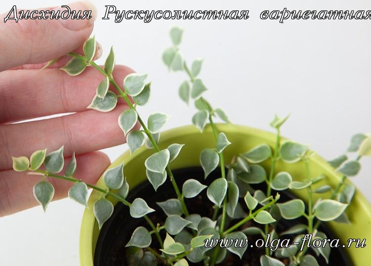 Дисхидия Рускусолистная  (Dischidia ruscifolia) обычная и вариегатная 8qiv6msvdtfcpaxsl5bqc7owmsjfaq9h
