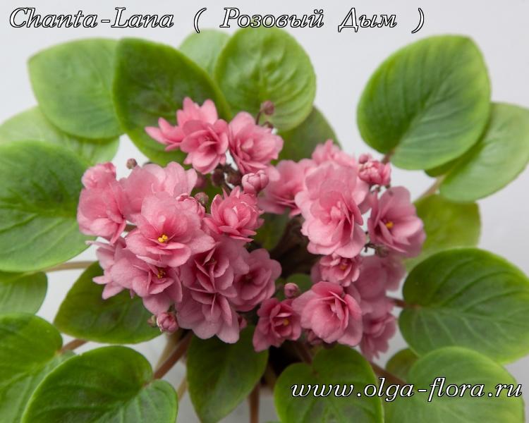 Chanta-Lana ( Розовый Дым ) 8vwmpiktng9kg40qgzx0yoqr3ur4k2br